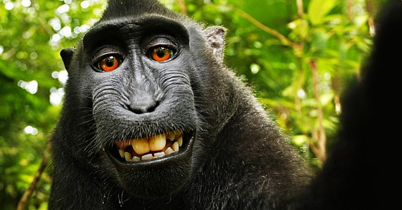 monkey selfie copyright wikipedia