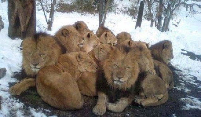 Lions in Winter - August in Johannesburg