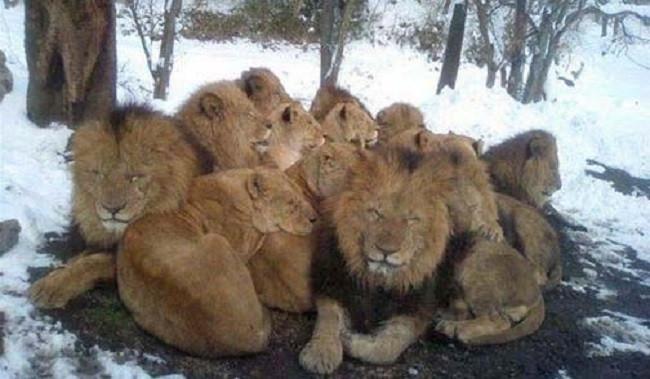 Lions in Winter - August in Johannesburg