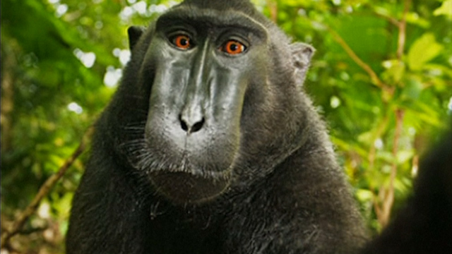 Legal Controversy over Monkey Selfie