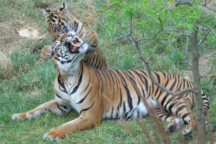 Tiger attacks on humans are rare although the predators are known to turn on their keepers
