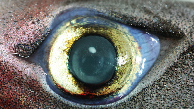 lantern shark eye