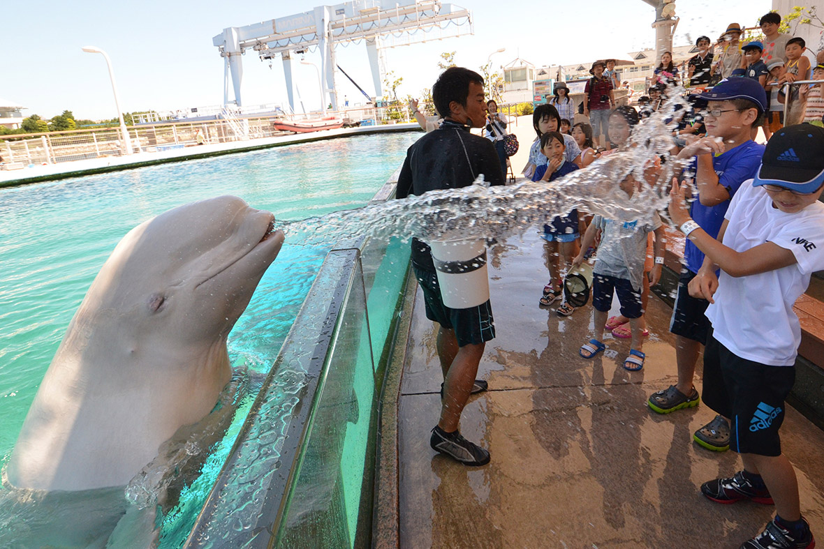 beluga whale sprays water