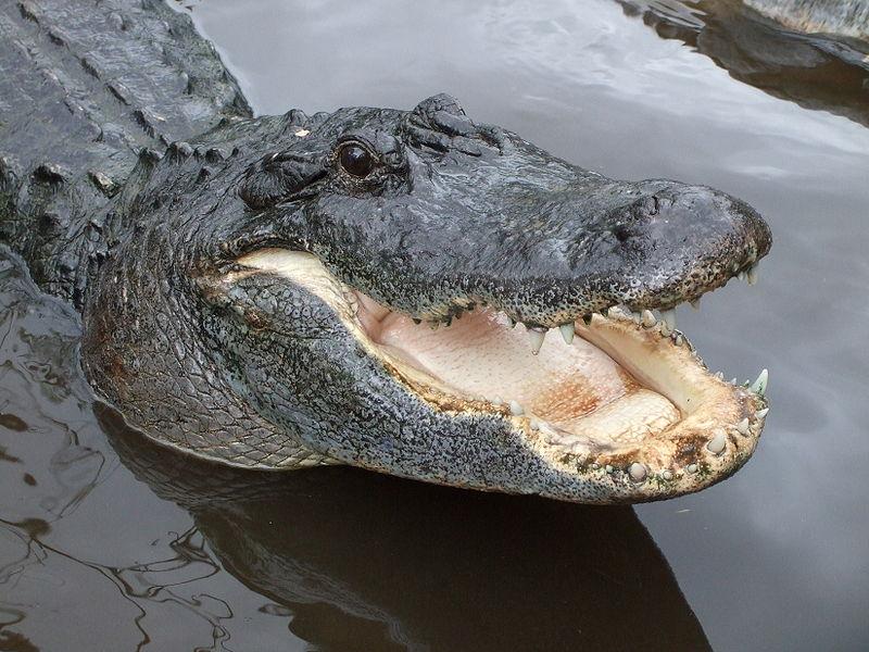 Alligator attack Texas