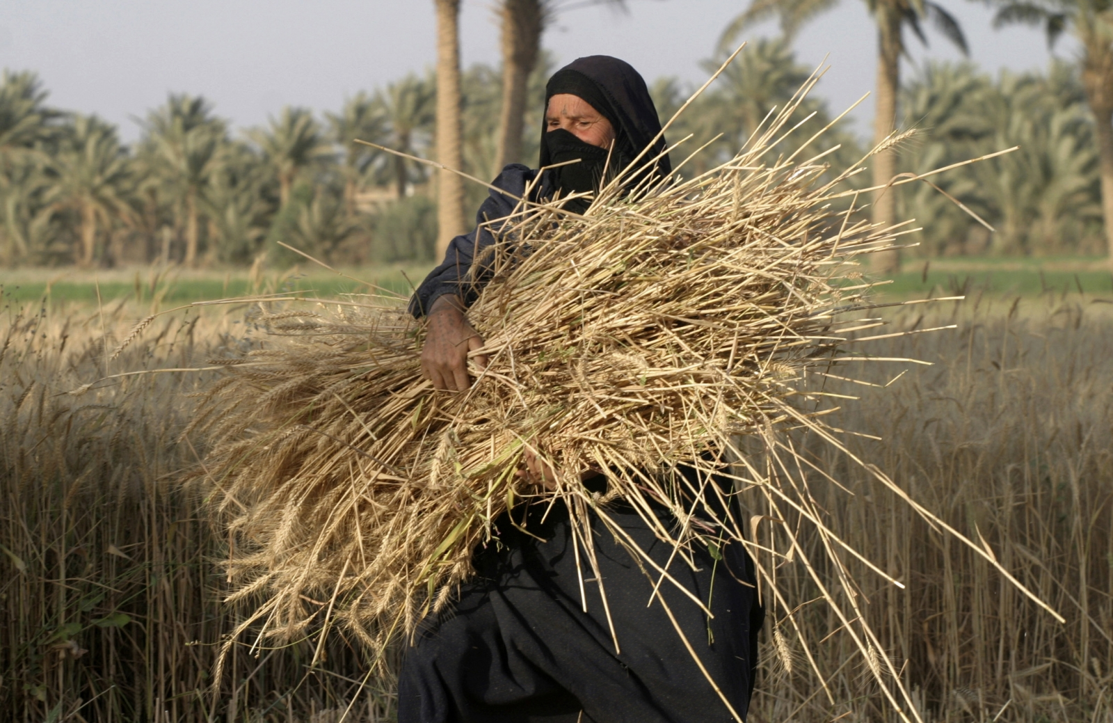 A woman carries a bundle of newly harvested wheat stalks in Albu Efan village southwest of Falluja