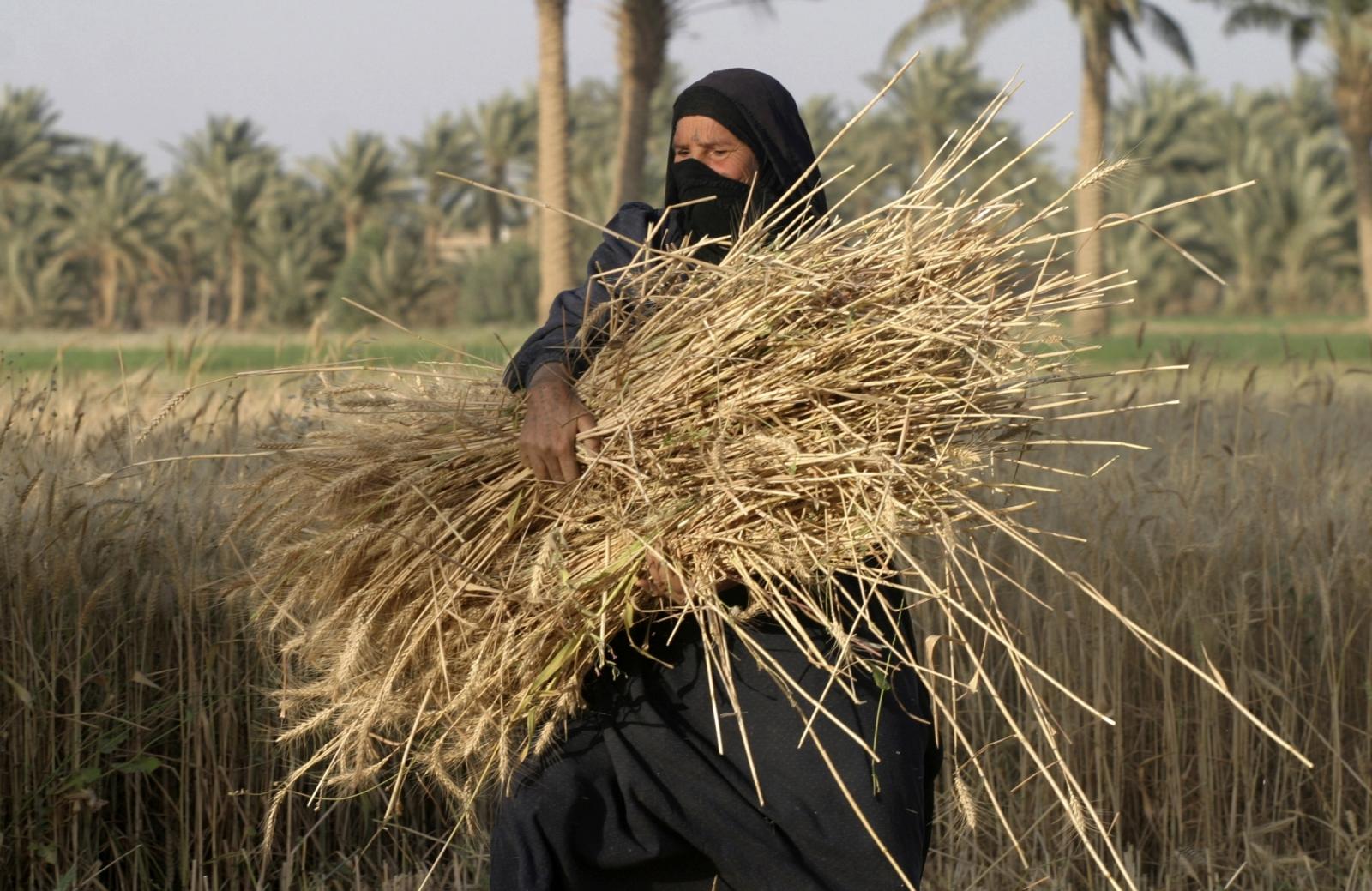 A woman carries a bundle of newly harvested wheat stalks in Albu Efan village southwest of Falluja