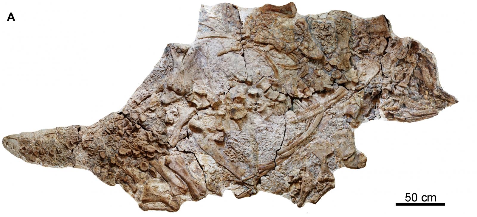110 Million Year-Old Dinosaur Found