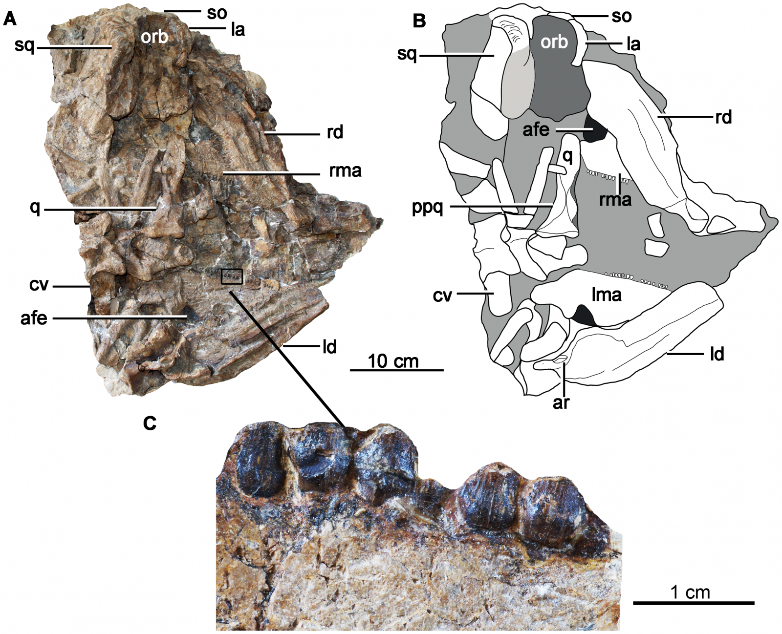 Holotype skull and mandibles of Chuanqilong chaoyangensis