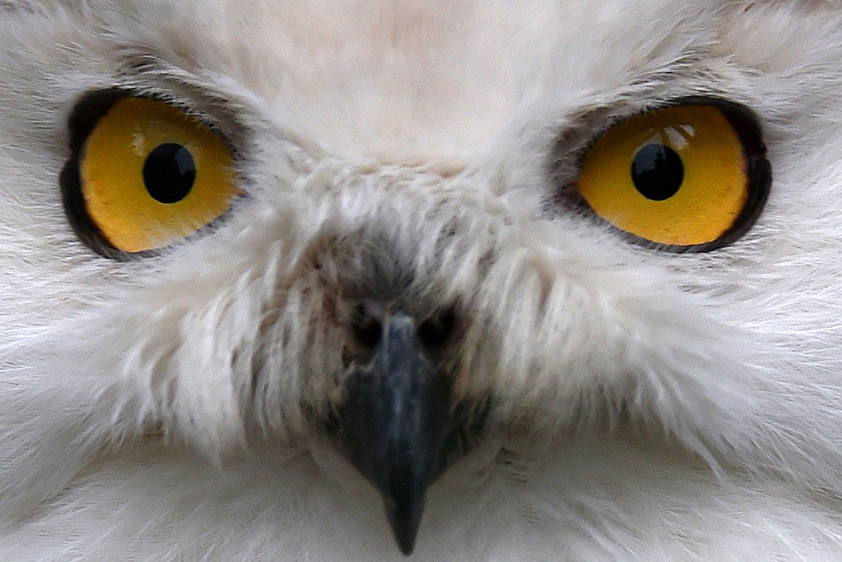 snowy owl eyes