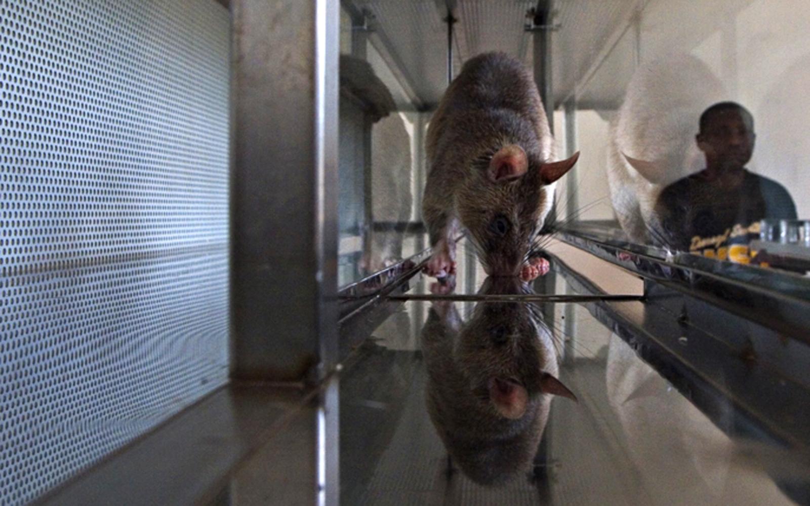 RATS.APOPO