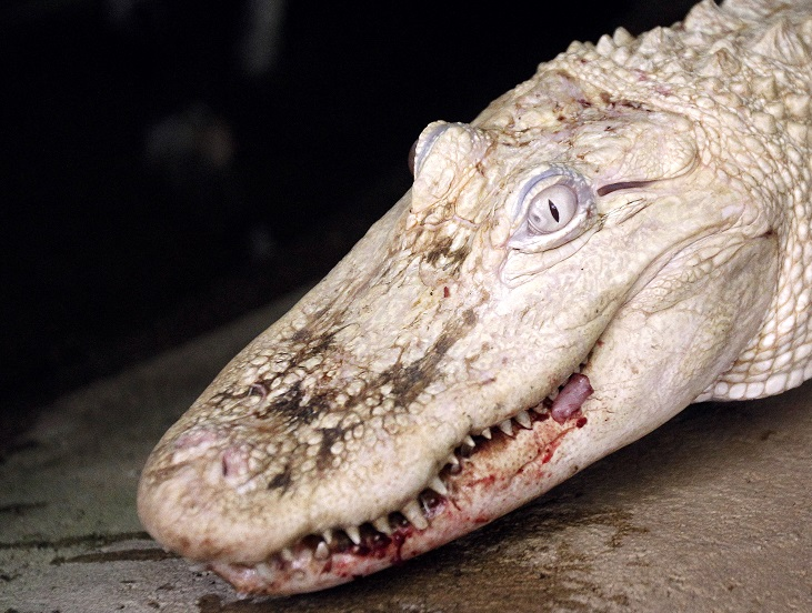 An albino crocodile - not Michael Jackson the saltwater croc