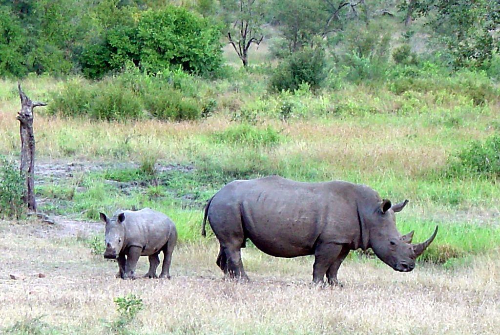 A Rhino in Limpopo