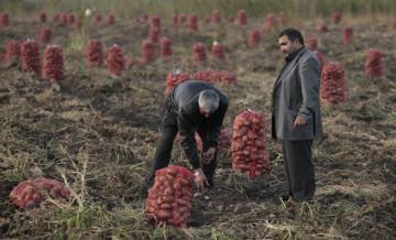 Workes harvesting potato crop on a Russian farm