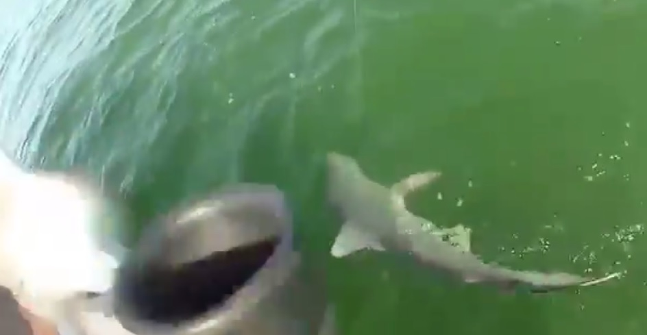 shark eaten by fish