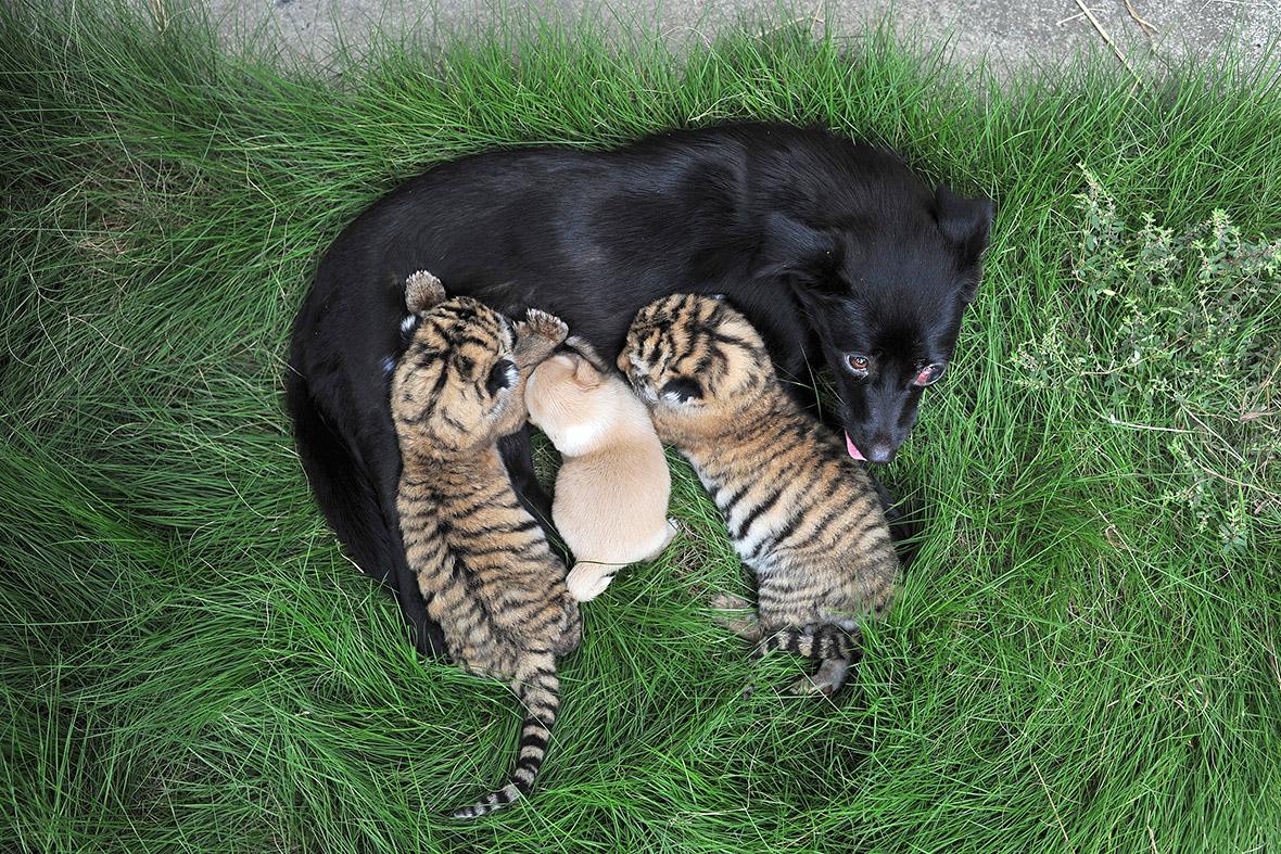 dog feeding tiger cubs
