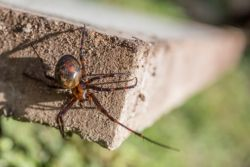 false widow