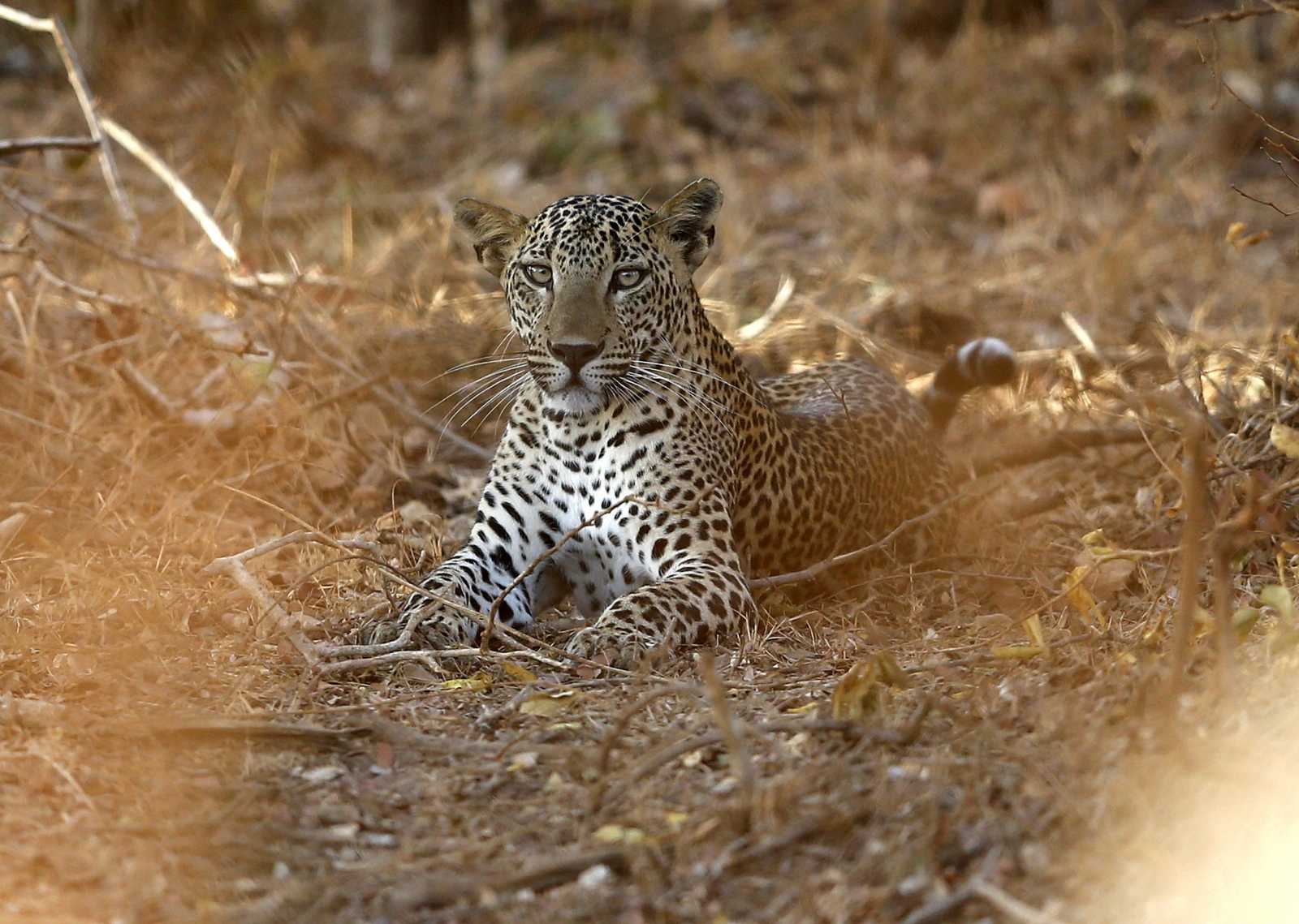 LEOPARD.CONFLICT