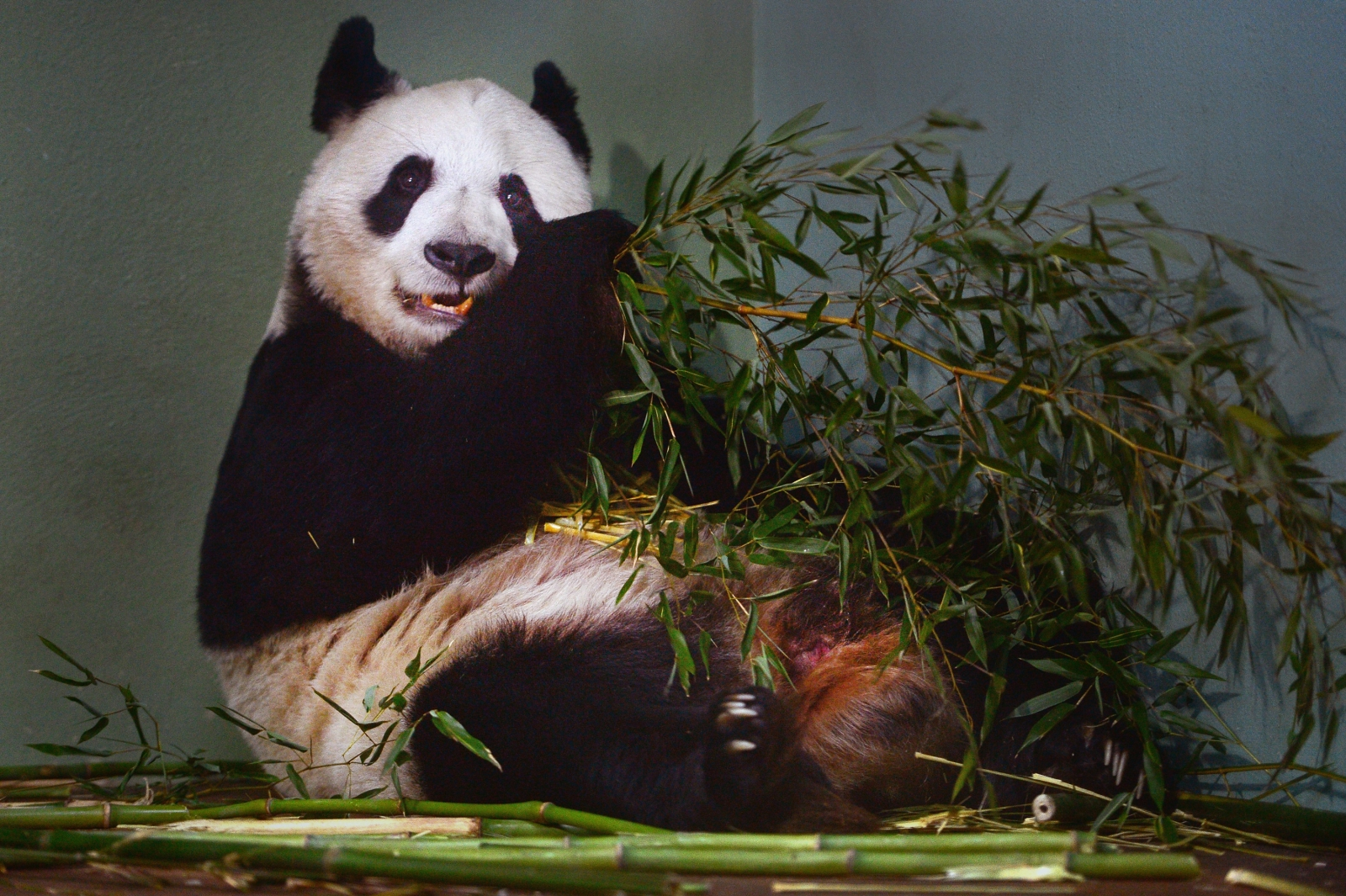 Tian Tian the giant panda may have miscarried, said Edinburgh Zoo