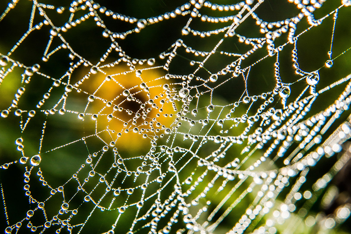 spider web dew