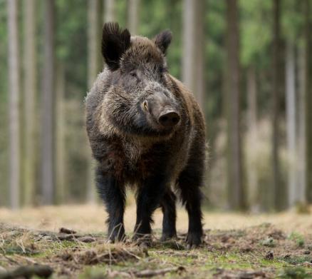 Giant 'boar on steroids' seen dumpster-diving in Hong Kong ...Giant Wild Boar