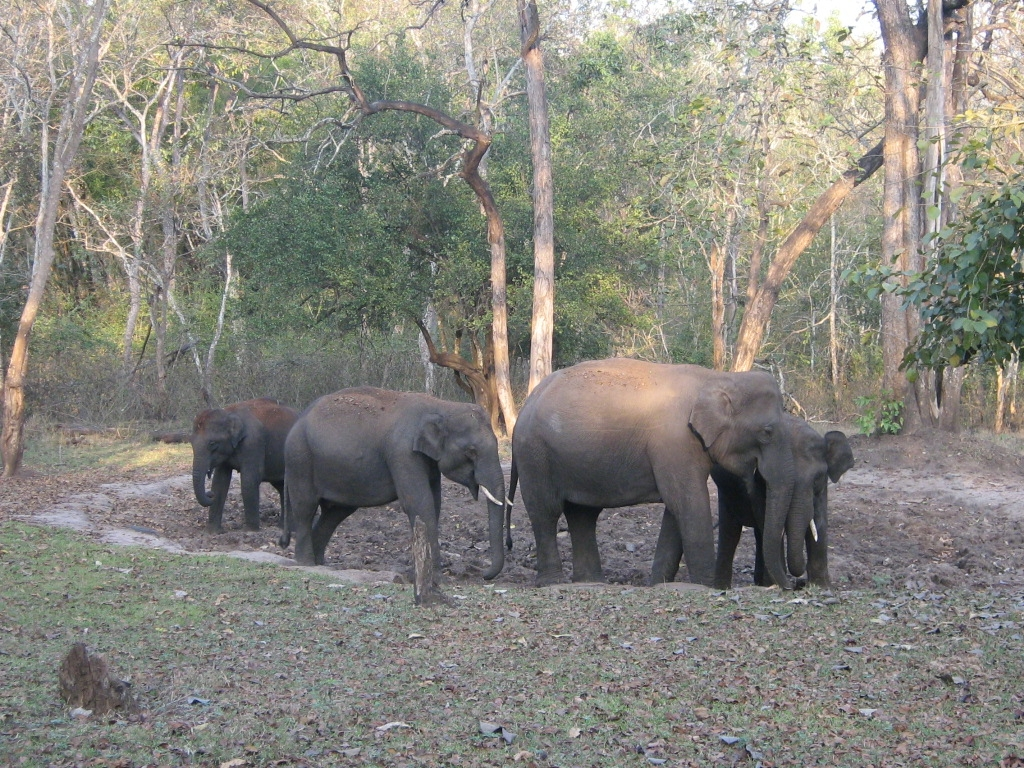 ASIAN.ELEPHANT