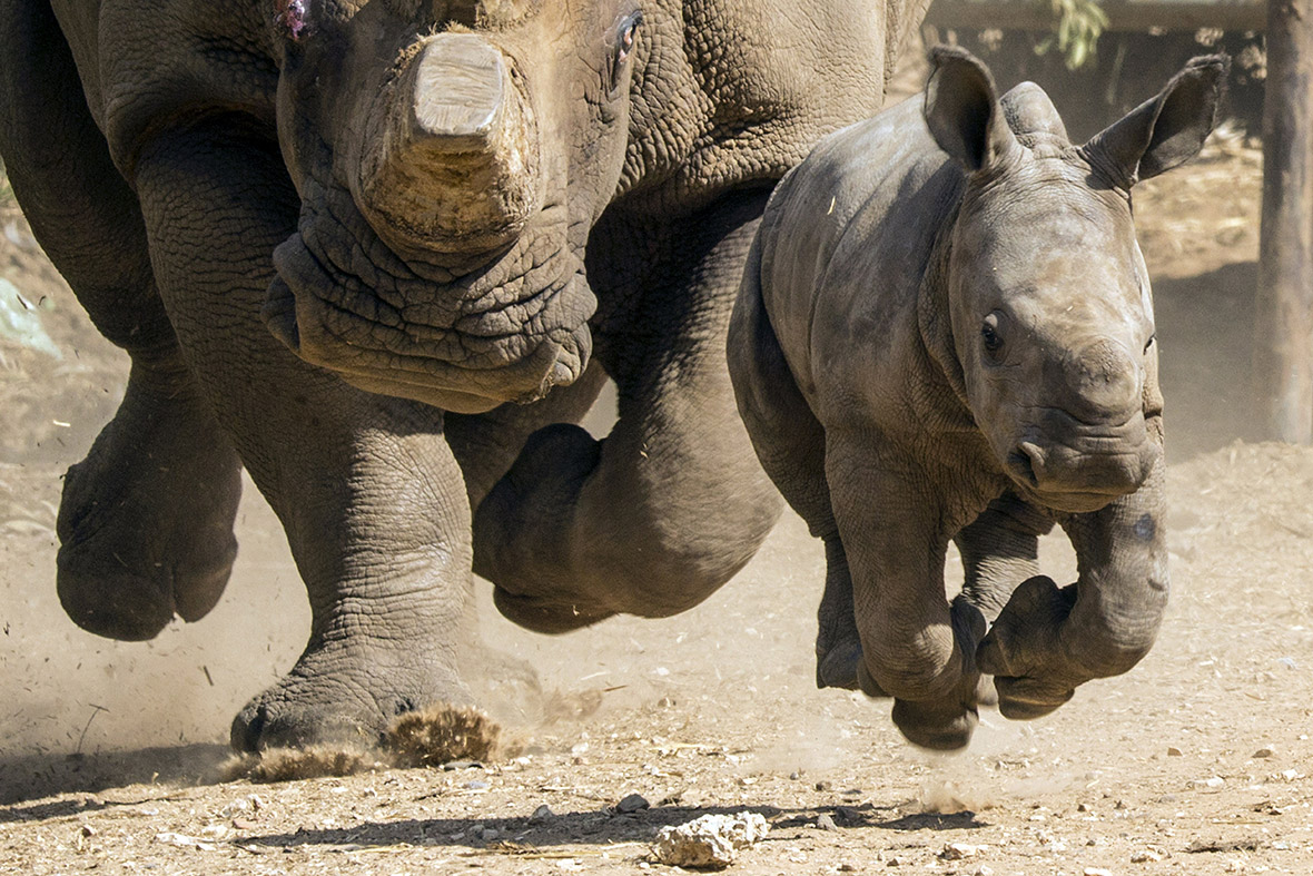 World Rhino Day 2014 Facts To Celebrate The Five