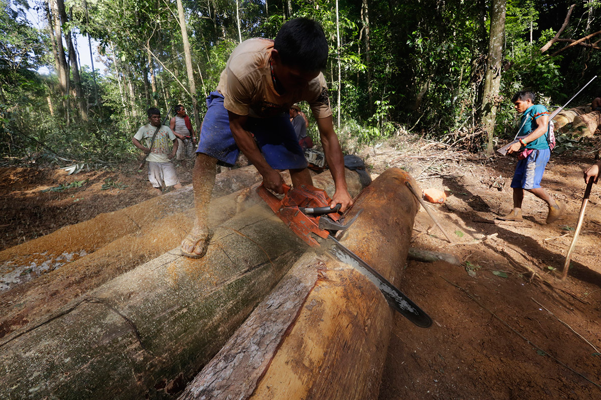 A Ka'apor man uses a chainsaw to ruin one of the logs cut down by illegal loggers