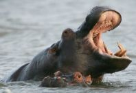 South Africa hippo