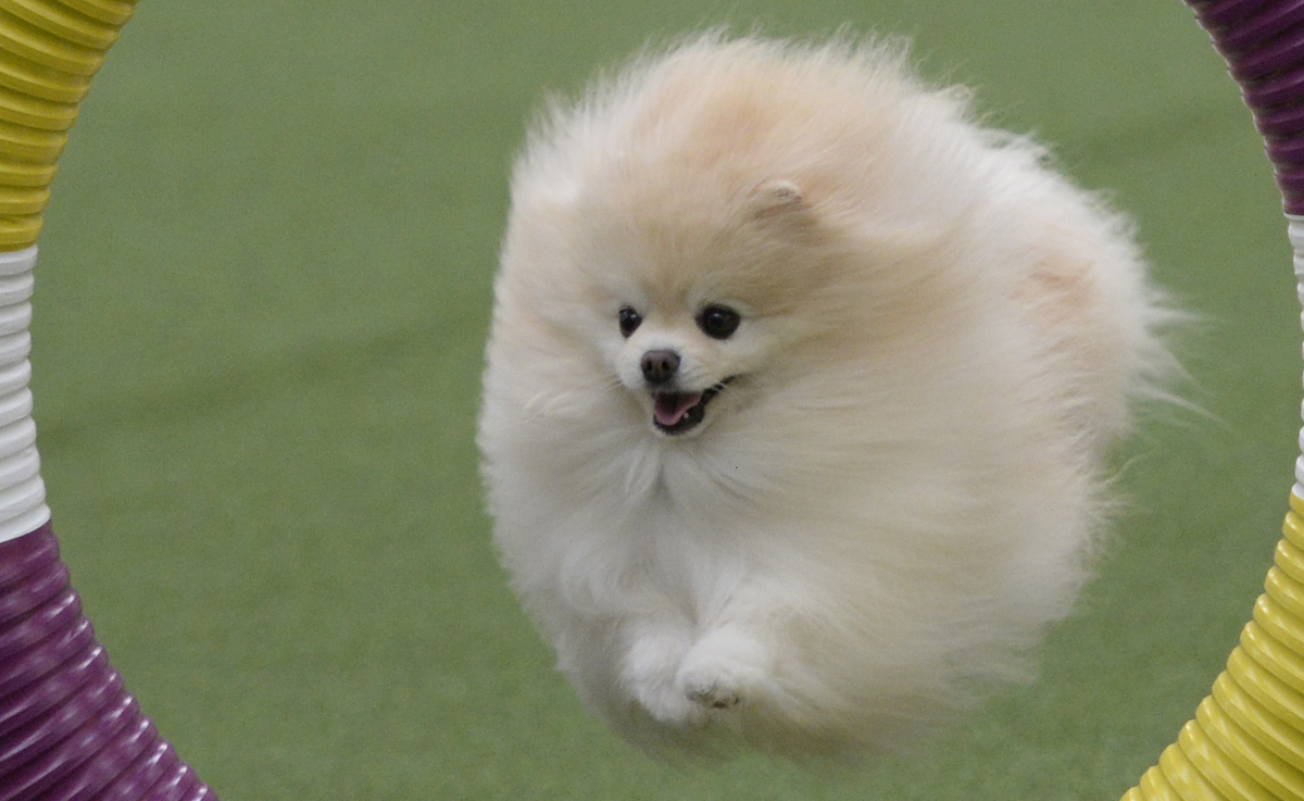 Pomeranian Dog (crop)