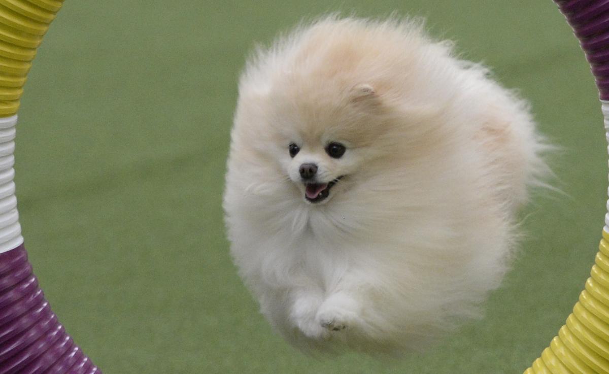 Pomeranian Dog (crop)