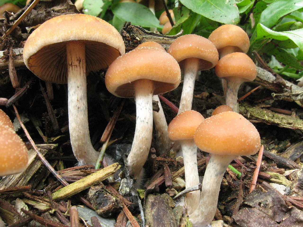 Magic mushrooms - Psilocybe cyanofriscosa