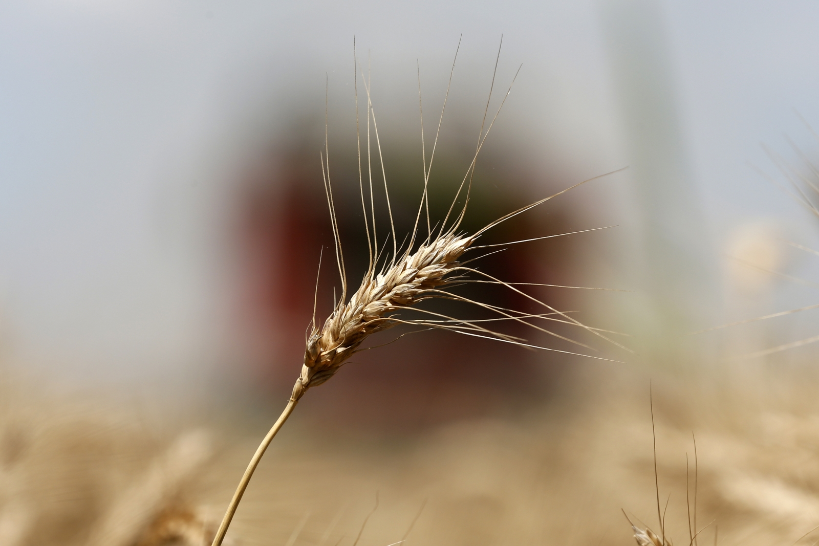 WHEAT.STALK