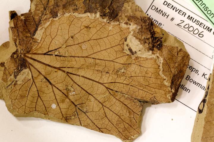 Fossilised Leaf
