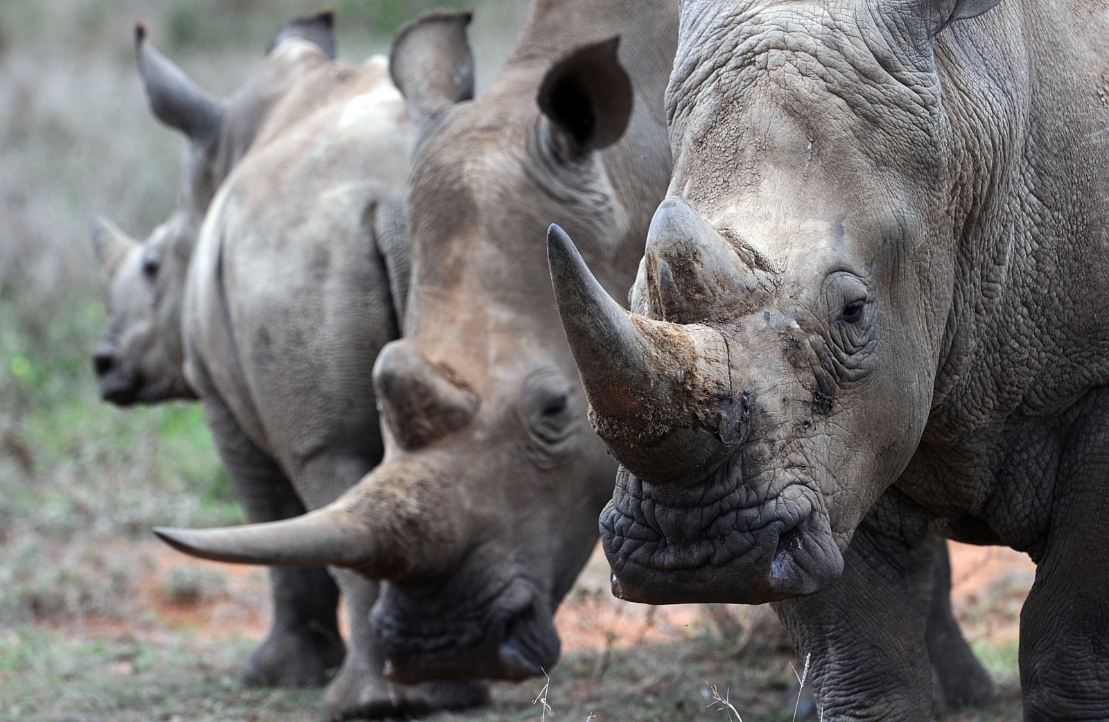 Rhino poaching in 2014: With 100 killed every month, South Africa records worst year