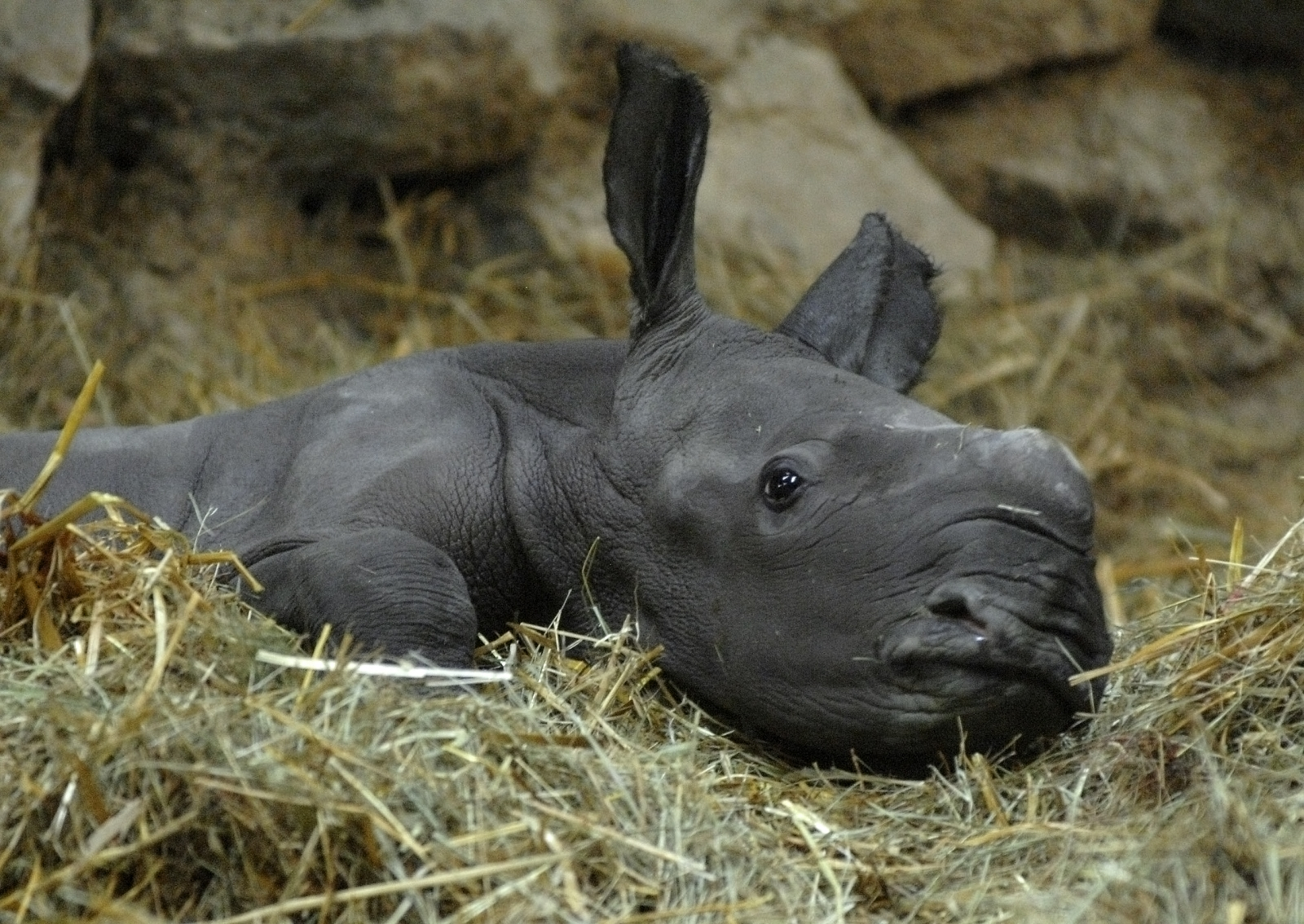 baby rhino