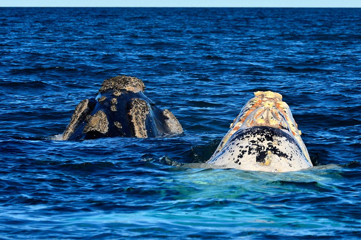 albino whale