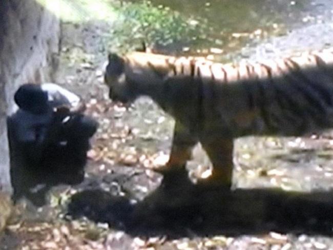 Tiger seen approaching boy
