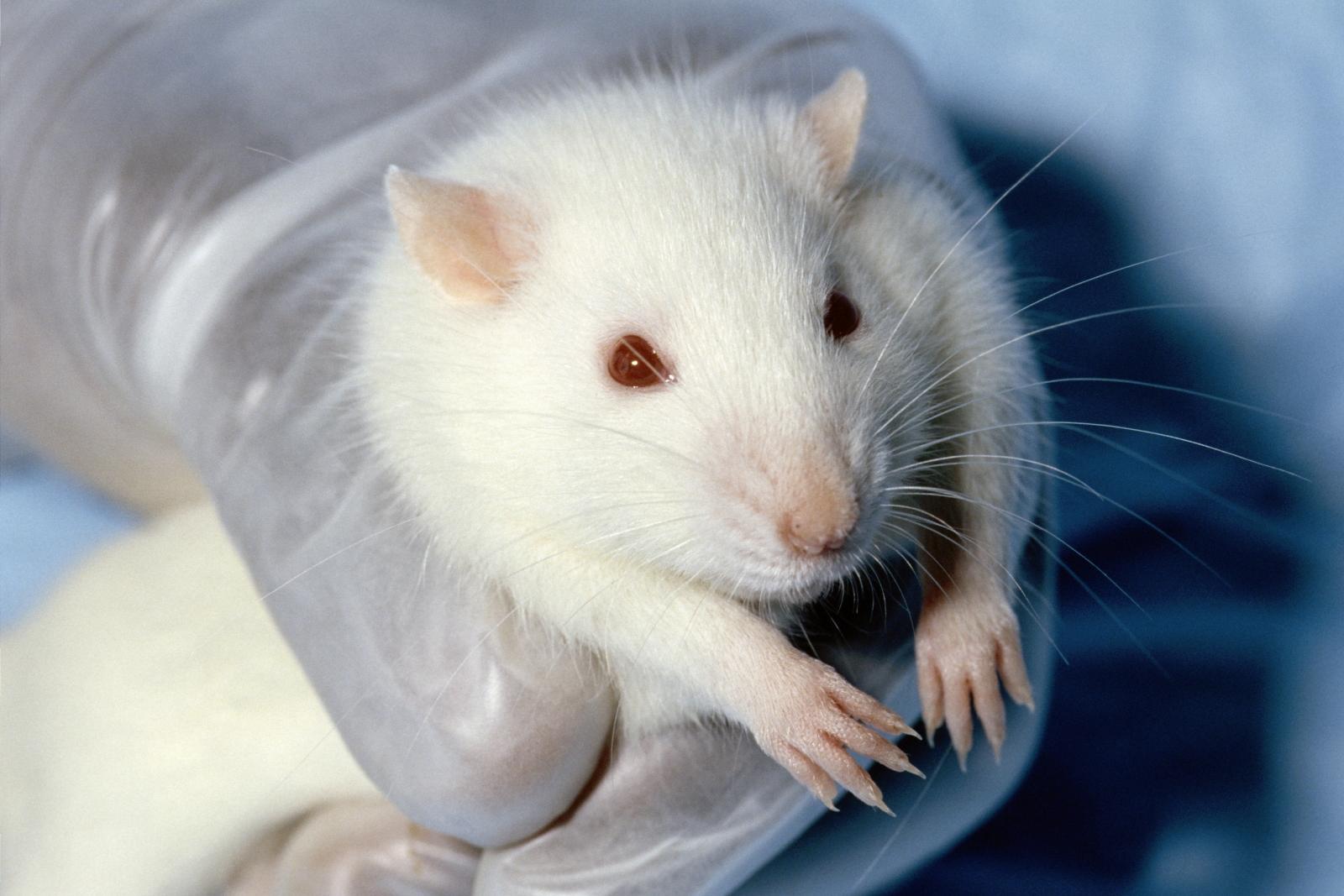 Wistar Rat