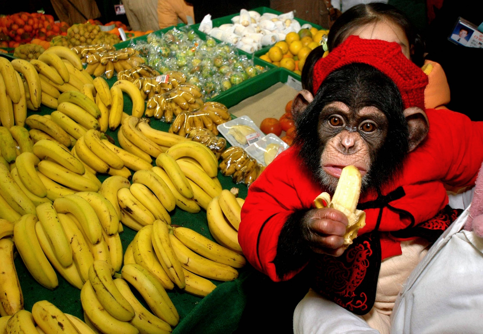 performing chimpanzee