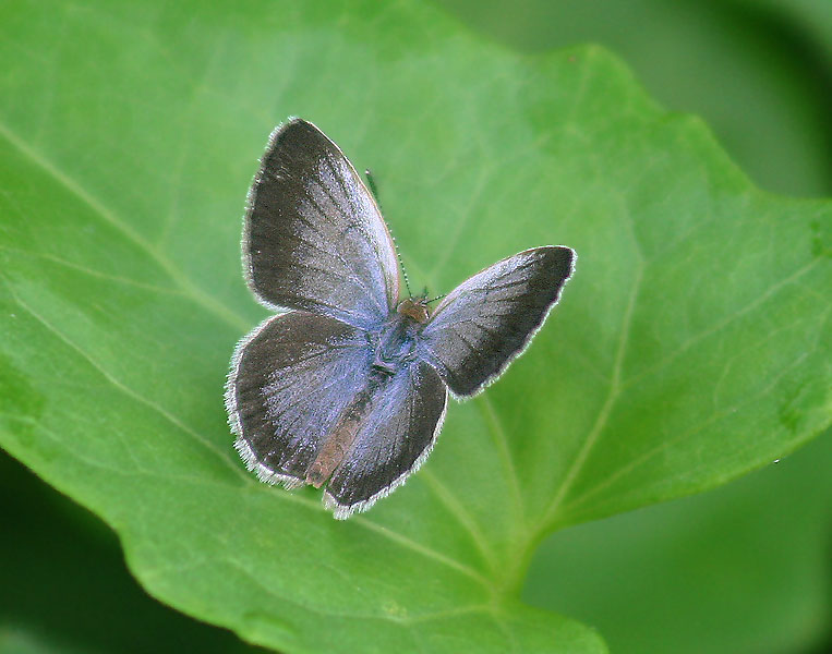 Pale Blue Grass Butterfly