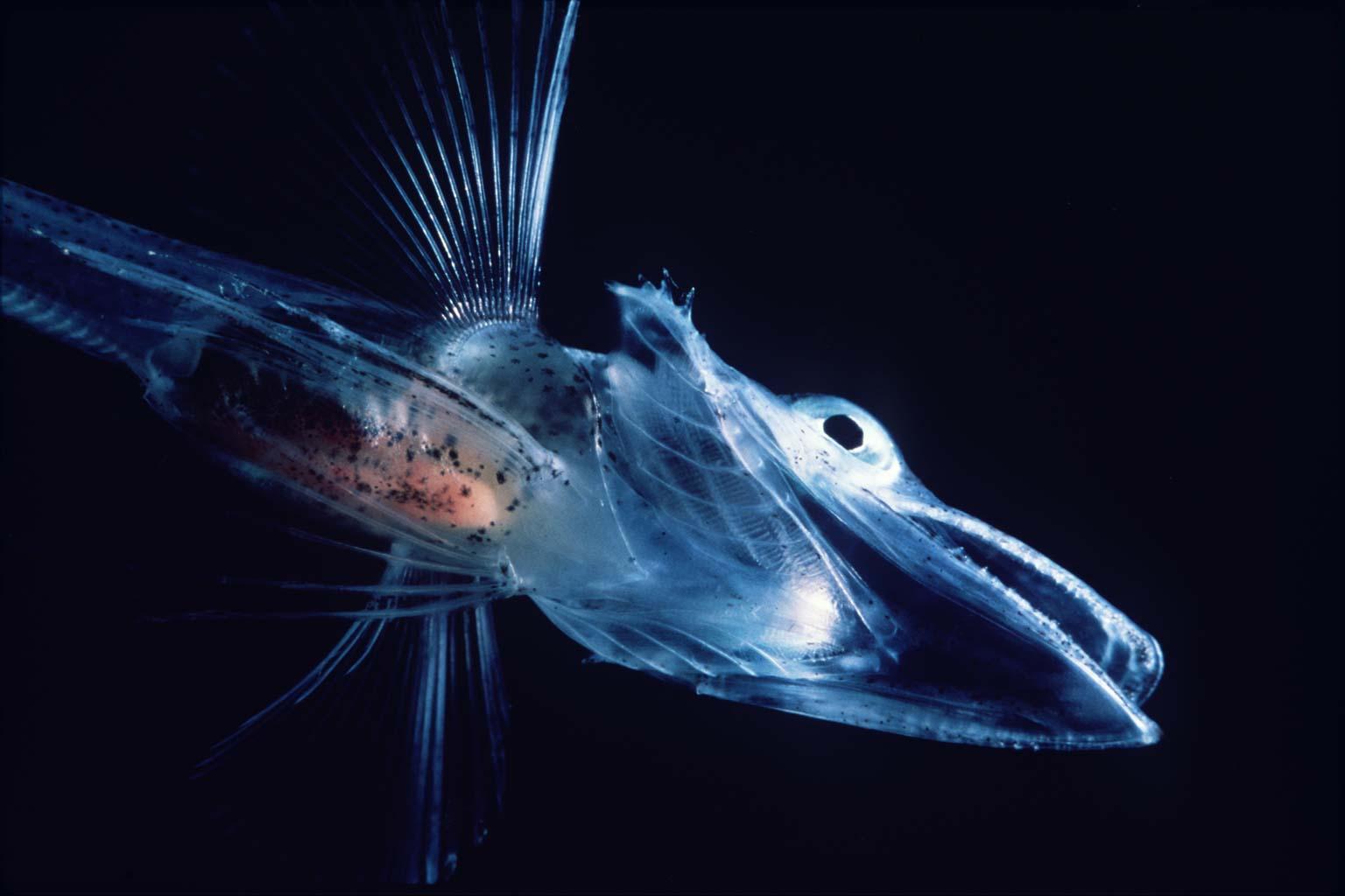notothenioid fish