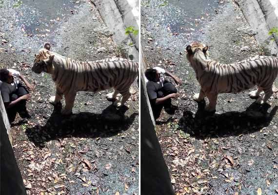 White Tiger Kills Boy at Indian Zoo
