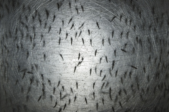 Aedes aegypti mosquitos