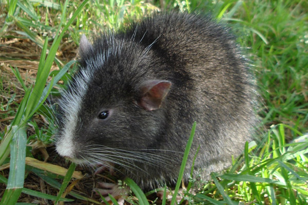 CHINCHILLA RAT