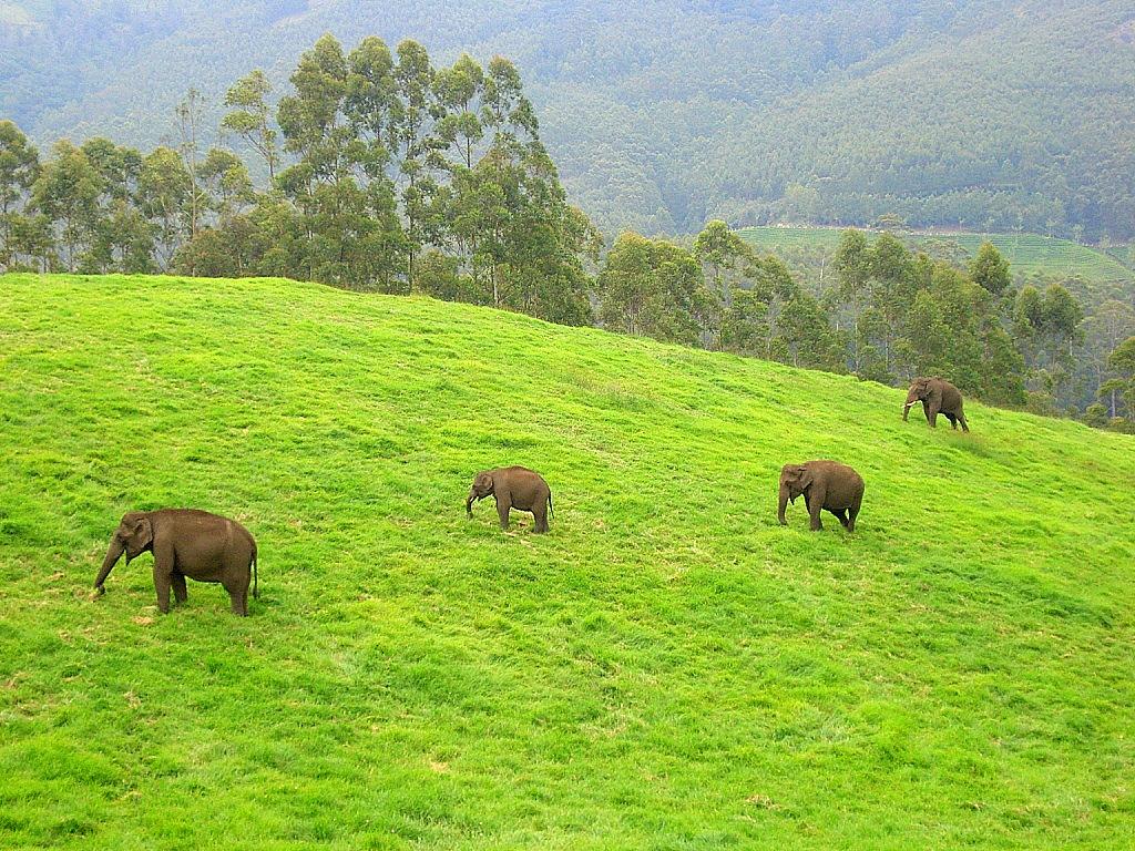 Wild elephants in India
