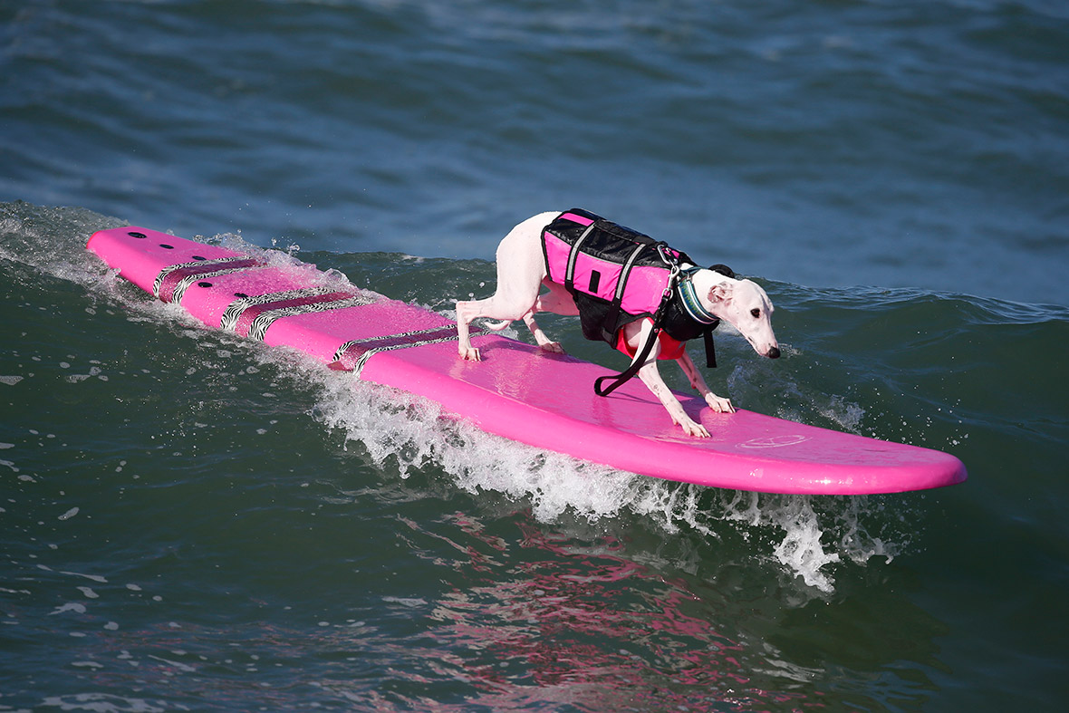 The Sixth Annual Surf City Surf Dog Competition In
