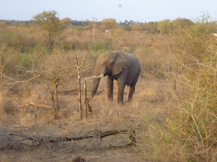 An elephant in Kruger