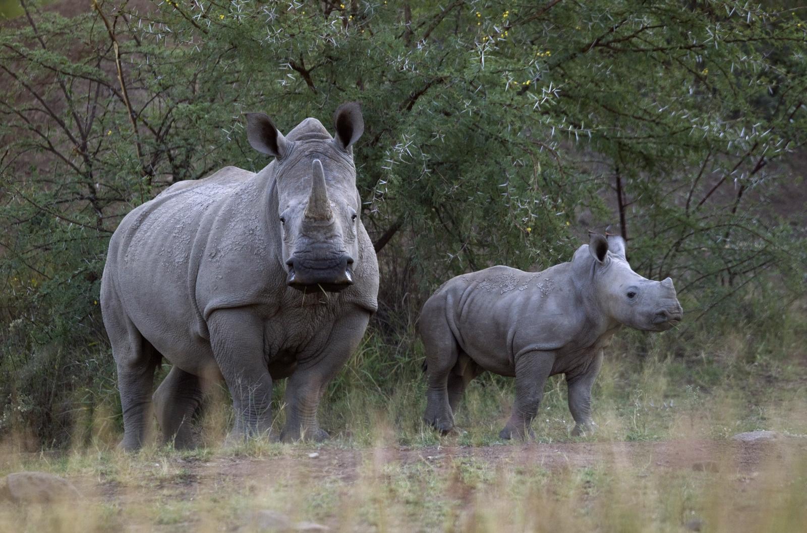 White Rhino and her calf walk