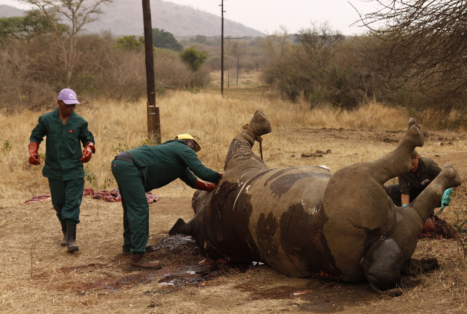 Workers perform a post-mortem on the carcass of a rhino after it was killed for its horn by poachers at the Kruger national park