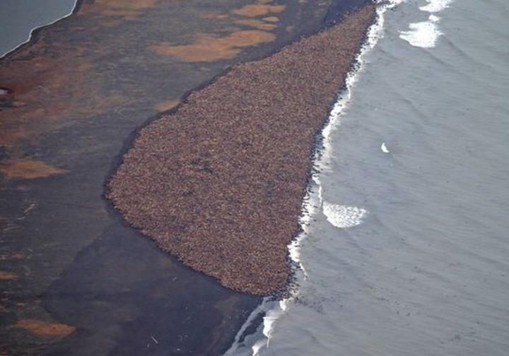 Walrus herd Alaska